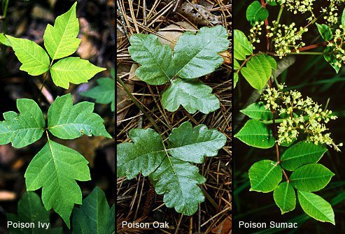 Poison ivy is the only one that always has three leaves, one on each side and one in the center.