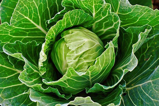 There's no evidence applying cabbage leaves to joints helps relieve pain.