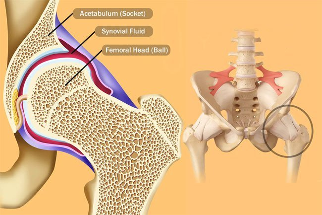 The hip joint is a ball and socket joint.