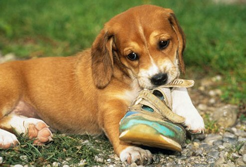 A puppy chewing a shoe.