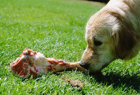 A dog eating a bone.