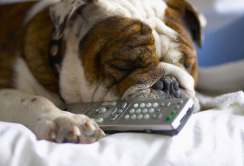 Bulldog with remote control.