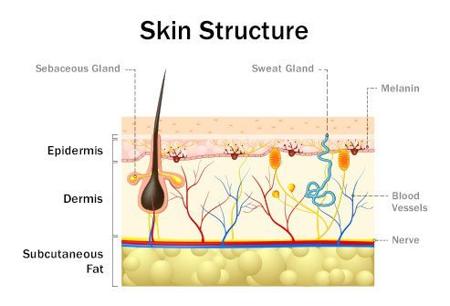 The skin has many structures.