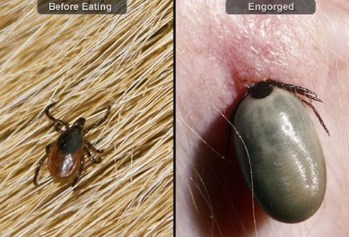 Tick before and after feeding on dog's blood