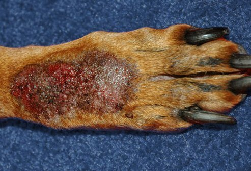 Back of paw affected by acral lick dermatitis