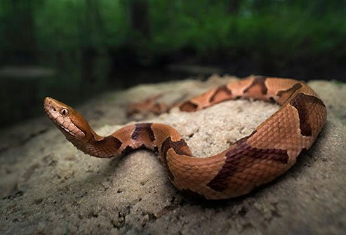 Copperheads can be found on dry, rocky hillsides in mountainous regions.