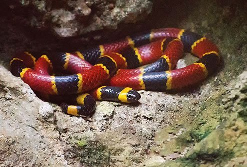 The coral snake has several look-alikes, including the harmless and common king snake.