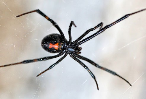 Black widows are the most venomous spiders in North America.