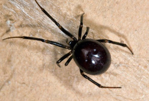 False black widows look like the real thing, but their bodies are more oval-shaped.