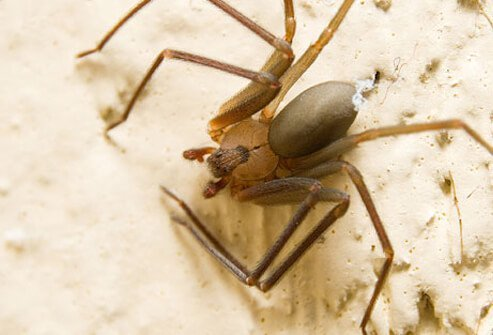 The bodies of brown recluse spiders have a violin pattern in the upper portion.