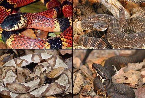 Collage of poisonous snakes
