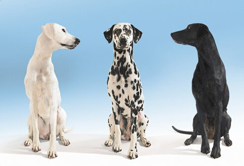 Black and white dogs looking towards dalmation