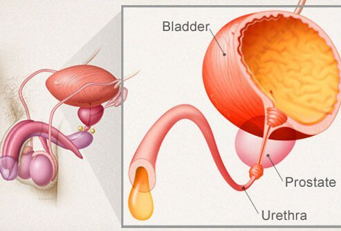 An illustration of the male urinary system.