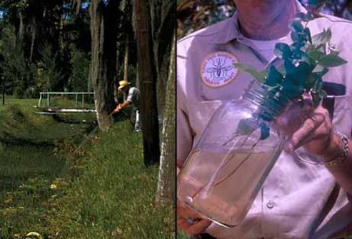 A man sprays mosquitoes found breeding in a street-side drainage ditch (left). A worker holds a plant jar containing mosquito larvae (right).