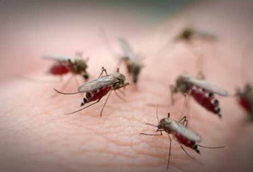 Mosquitoes swarm on human skin.