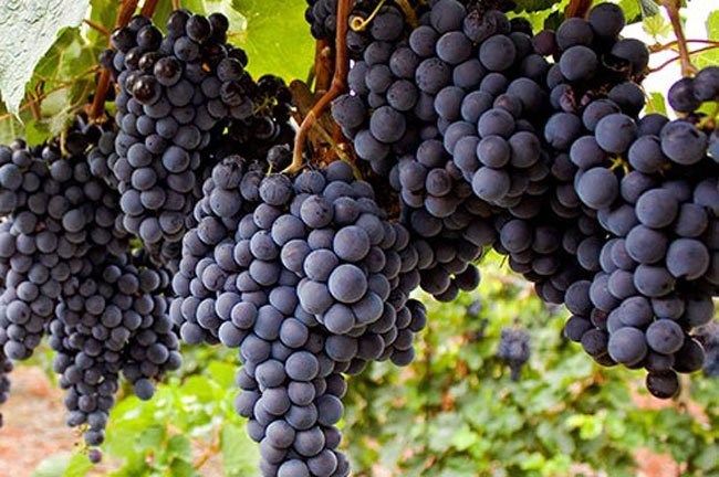 A standard 750-milliliter bottle of wine has 736 grapes, or about 2.6 pounds of fruit.