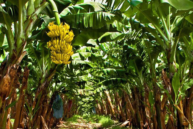 The banana plant is actually a giant herb. The yellow fruit it produces is a berry.