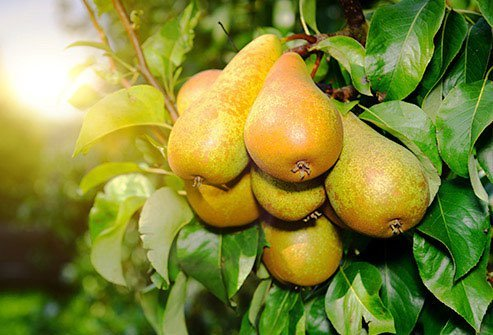 The sugar content of pears is on the higher end.